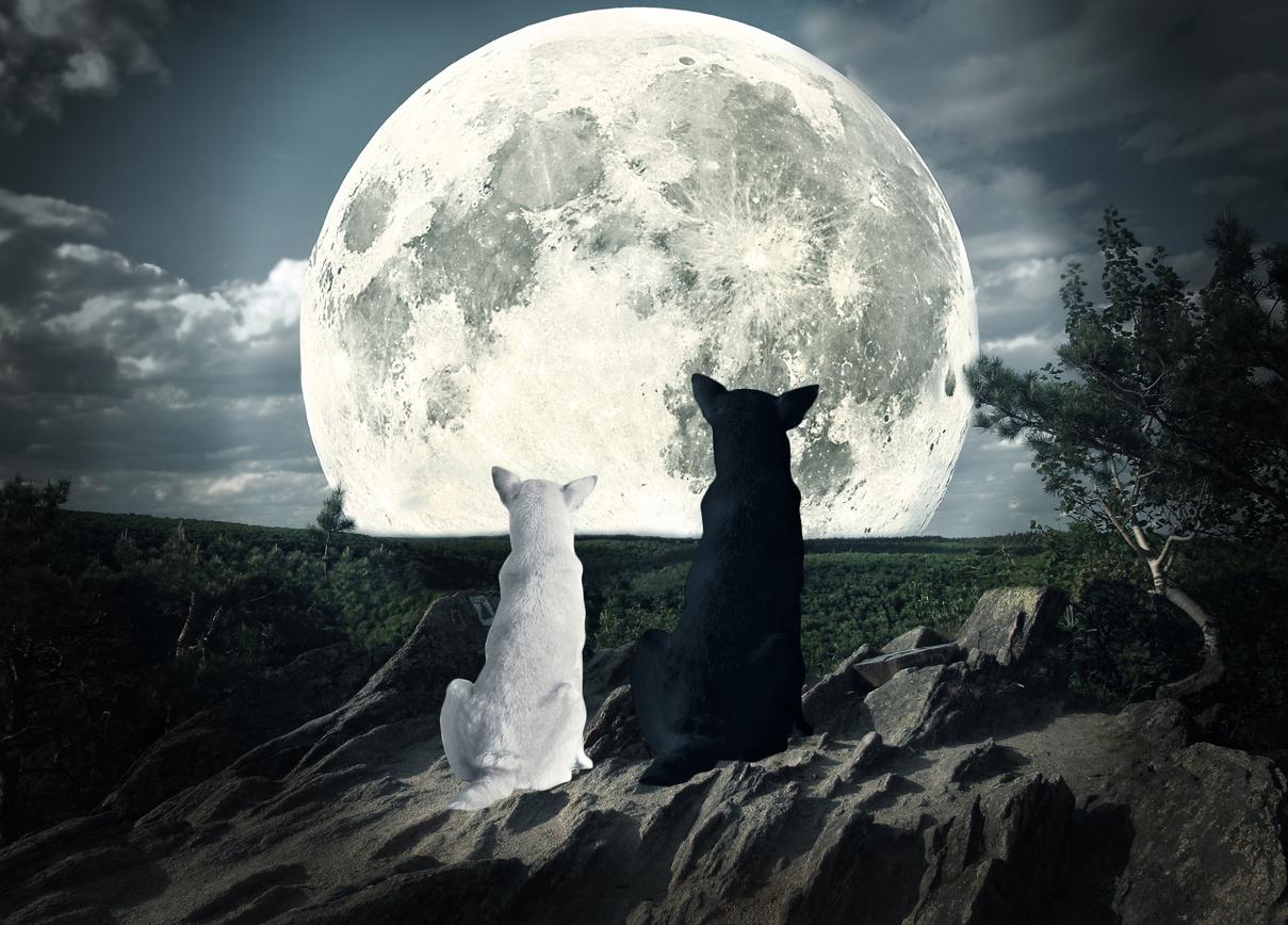 Vargen – hundens avlägsna släkting