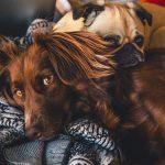 Två hundar vilar tillsammans