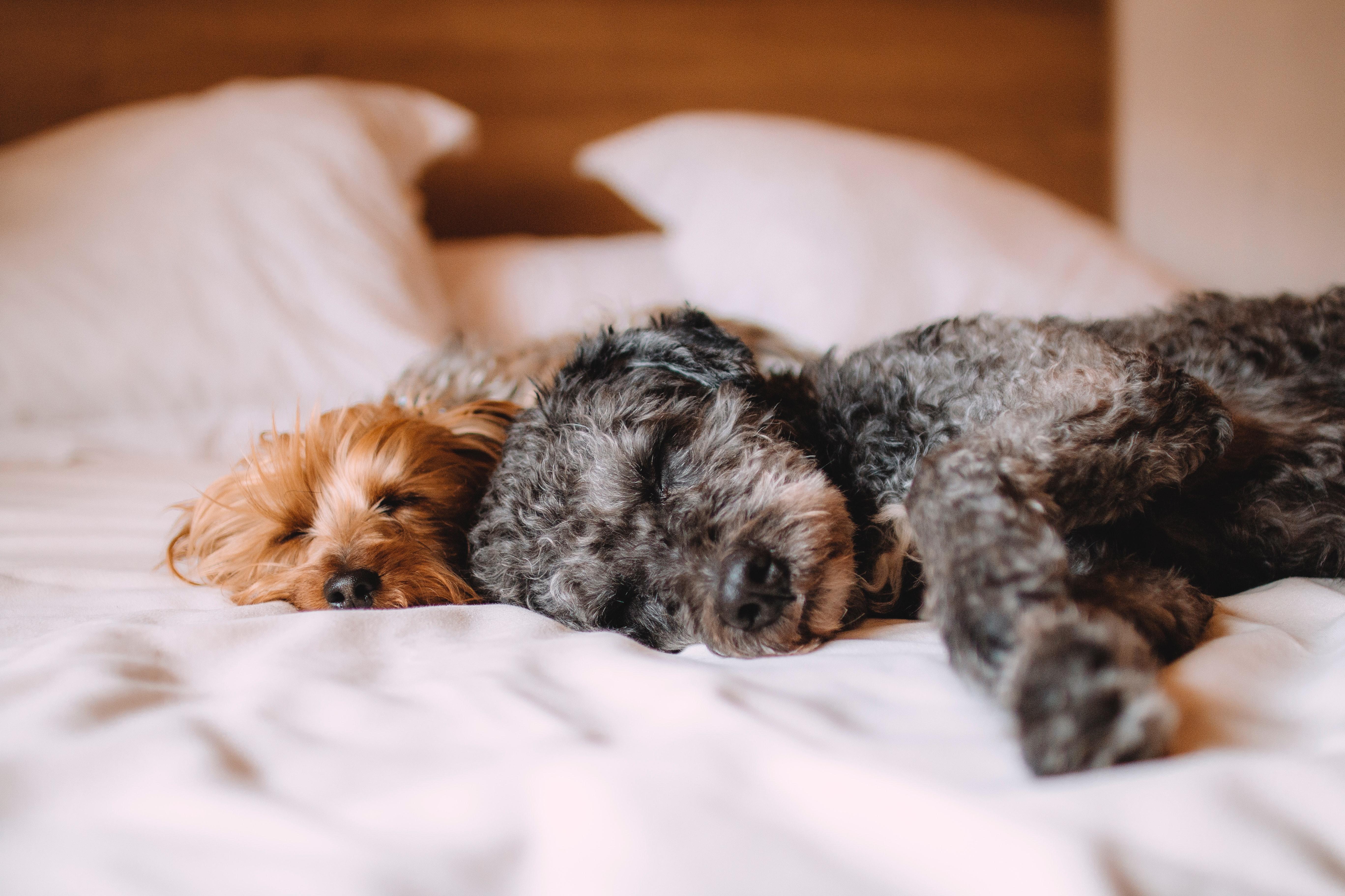 Hundar sover i säng